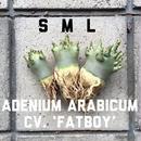 "Sサイズ アデニウム・アラビクム ""ファットボーイ"" Adenium arabicum cv. 'fatboy'"