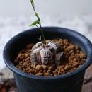 ディオスコレア   亀甲竜    Dioscorea elephantipe  no.923-2
