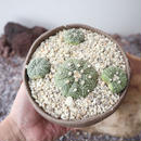 アストロフィツム  アステリアス 兜   no.001   Astrophytum asterias