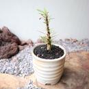 フォークイエリア   プルプシー  no.019   Fouquieria purpusii