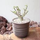 フォークイエリア   コルムナリス   no.006  Fouquieria columnari