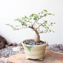 ブルセラ   ファガロイデス  no.011     Bursera fagaroides