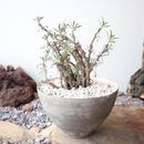 チレコドン  ストリアーツス  挿木   ×  大森 健司       Tylecodon  striatus