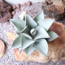 """アガベ  ドラゴントゥース   no.009    Agave pygmaea """"Dragon Toes"""