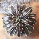 Dyckia  'California'    no.002