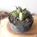 """アガベ チタノタ ブルー&ブラック(ダブルヘッド)   子株   no.031  agave titanota """"blac & blue""""  pups"""