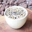 ブロスフェルディア   リリプタナ  松露玉  no.001     Blossfeldia liliputana
