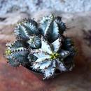 ユーフォルビア  ホリダ   Euphorbia  horrida   no.111103