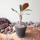 ユーフォルビア   イハラナエ  no.004  Euphorbia iharanae