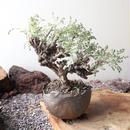 ペラルゴニム   アルテルナンス  no.004    Pelargonium alternans