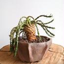 ユーフォルビア イネルミス  no.002   Euphorbia inermis