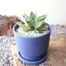 アガベ   キュービック  ×   宮木 英至    Agave potatorum f.monstrosa 'cubic'
