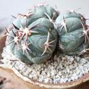 エキノカクタス 花王丸    no.001  Echinocactus horizonthalonius