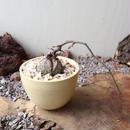 ディオスコレア   亀甲竜   no.021  Dioscorea elephantipe