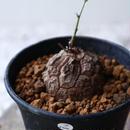 ディオスコレア   亀甲竜    Dioscorea elephantipe  no.923-7
