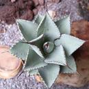 """アガベ  ドラゴントゥース   no.010    Agave pygmaea """"Dragon Toes"""
