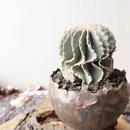 ゲオヒントニア    メキシカーナ  no.009  Geohintonia mexicana