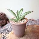 アガベ    マクロアカンサ   no.004  Agave macroacantha