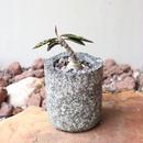 ユーフォルビア アンボボベンシス    no.005   Euphorbia ambovombensis