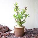 パキポディウム  サンデルシー   no.011  Pachypodium saundersii