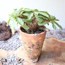 ユーフォルビア    イトレメンシス    no.003   Euphorbia itremensis