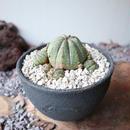 ユーフォルビア  仔吹きオベサ   no.048   Euphorbia obesa