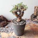 オトンナ   ユーフォルビオイデス  no.004  Othonna   euphorbioides