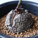 ディオスコレア   亀甲竜    Dioscorea elephantipe  no.923-10