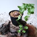 ディオスコレア   亀甲竜    Dioscorea elephantipe  no.101406