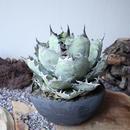 """アガベ チタノタ ブルー&ブラック  オールド     no.023  agave titanota """"blac & blue""""  old"""