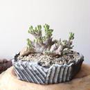 オトンナ    クラビフォリア    no.008    Othonna clavifolia