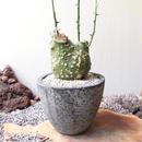 アデニア  グロボーサ    no.007   Adenia globosa