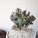 モンビレア  残雪の峰   no.001   Monvillea spegazzinii f. crist.