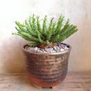 ユーフォルビア  フラナガニー  Euphorbia flanaganii