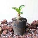 パキポディウム  ウィンゾリー   no.010   Pachypodium baronii var. windsorii