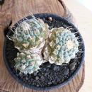 ストロンボカクタス  ディシフォルミス   菊水  no.001   Strombocactus disciformis