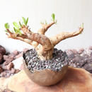 ユーフォルビア    イトレメンシス    no.004   Euphorbia itremensis