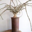 ユーフォルビア   サカラハエンシス   no.003  Euphorbia sakarahaensis