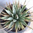 アガベ  ユタエンシス    エボリスピナ  no.005  Agave uthaensis var. eborispina