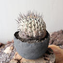 コピアポア 孤竜丸   no.003  Copiapoa cinerea var. columna-alba