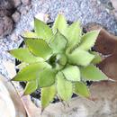 """アガベ ホリダ(ギルベイ)   no.005  Agave horrida ssp. horrida """"gilbeyi"""""""