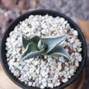 """アガベ  ドラゴントゥース   no.011    Agave pygmaea """"Dragon Toes"""