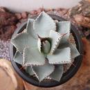 """アガベ  ドラゴントゥース   no.013    Agave pygmaea """"Dragon Toes"""