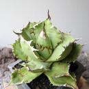 アガベ チタノタ   no.002   agave titanota