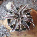 Dyckia   Hybrid   'Heaven  &  Hell'  X  (Tooth  x  Richard  Kaz)     no.008