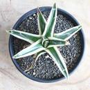 """アガベ   氷山  (広葉タイプ)  no.002 Agave victoriae-reginae 'Albomarginata' """"Hyouzan""""."""