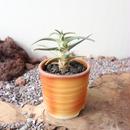 レウクテンベルギア  晃山   no.016   Leuchtenbergia principis