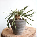 ユーフォルビア イネルミス  no.001   Euphorbia inermis