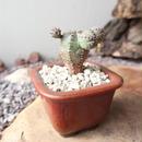 ユーフォルビア  オベサ 梵天   no.053   Euphorbia 'Obesa Bonten'