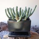 ユーフォルビア    エスクレンタ   no 003   Euphorbia esculenta